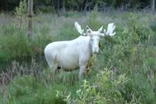 Albino-Elch