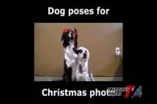 Hunde posen für Weihnachtsfoto