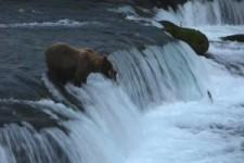 Bär fängt Lachs