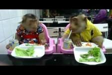 Affen essen am Tisch