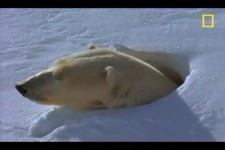 Polar Bear Mom and Cubs - National Geographic