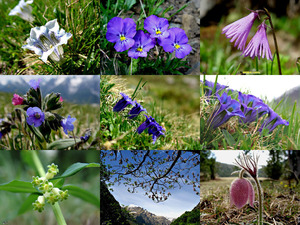 Alpenflora-1 - Alpenblumen 1