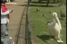 Hungriger Pelikan