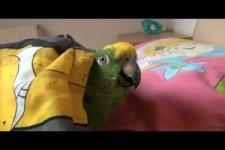 Papagei liebt es morgens im Bett zu kuscheln