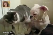Ein schrecklich gefährlicher Kampfhund