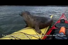 Adorable Seal Catches a Ride on a Kayak - National Geographi