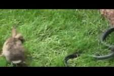 Hase befreit ihr Baby von Schlange