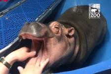 Zahnpflege bei Baby-Nilpferd