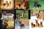 Deutscher-Schäferhund-1.ppsx auf www.funpot.net