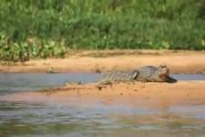 Leopard fängt Krokodil