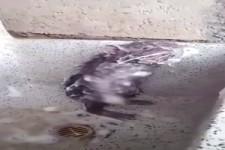 Reinliche Ratte