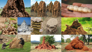 Bewundersnwerte Termiten Palaeste.Erika