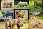 Rhino---Nashörner.ppsx auf www.funpot.net