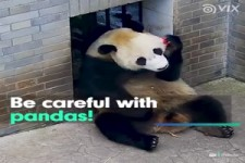 Pandas Caretaker Problems