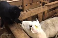 Dem Schaf reißt der Geduldsfaden
