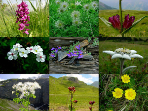 Alpenflora-6 - Alpenblumen-6