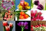 Beautiful-Tulips-3---Schöne-Tulpen-3.ppsx auf www.funpot.net