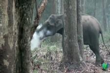 Elefant raucht Holzkohle
