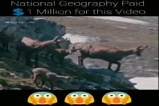 National geographic Video - Steinadler vs Gemsen