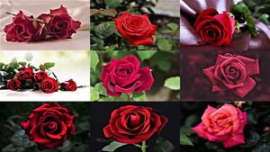 Für Sie liebe Damen, diese roten Rosen