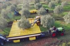 Oliven rütteln