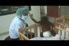 Orang-Utan Babys mit Krankenschwester
