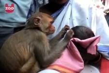 Affe sorgt für Baby in Indien