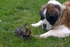 Dogs and Cats Playing Unlikely Friends - Hunde und Katzen