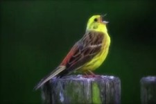 der Vogel- Song