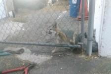Fuchs aus Zaun befreien