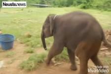 Lachanfall eines Elefanten