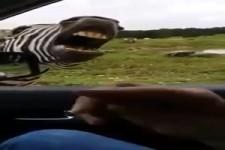 Lustiges Zebra