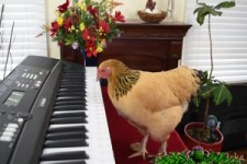 Musikalisches Huhn