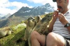 Murmeltiere fressen
