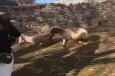Leg dich nicht mit einem Schaf an