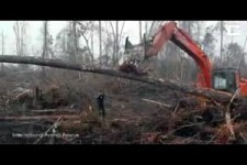 Orang-Utan konfrontiert den Bulldozer der seinen Wald dezim