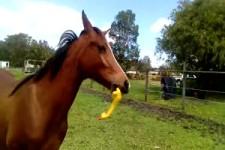 Pferd hat Spaß mit Gummihuhn