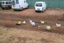 Trainingscamp für Rennhühner