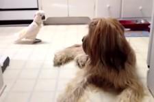 Kakadu veräppelt Hund mit bellen