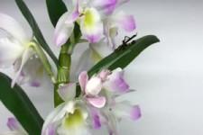 Orchidee fängt ein Insekt 1