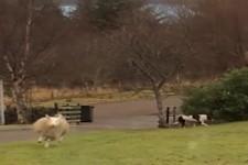 Beklopptes Schaf
