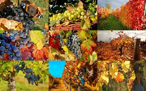 Autumn Grapes 1 - Herbsttrauben 1
