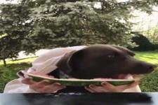 Hund isst Wassermelone
