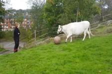 Kuh-Fußball