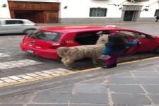 Lama fährt auch mit