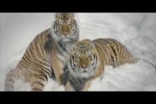 Tiger durch Drohne beobachtet