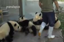 Pandas spielen