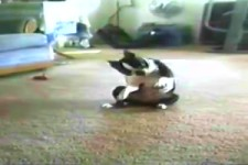 Hunde tanzen