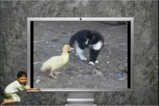 Entenküken scherzt mit Kätzchen