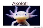 ungewöhnliche-Tiere---Axolotl.pps auf www.funpot.net